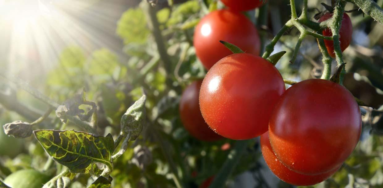 slider-tomatos
